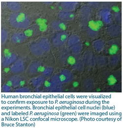 Human bronchial epithelial cells were visualized to confirm exposure to P. aeruginosa during the experiments. Bronchial epithelial cell nuclei (blue) and labeled P. aeruginosa (green) were imaged using a Nikon LSC confocal microscope. (Photo courtesy of Bruce Stanton)