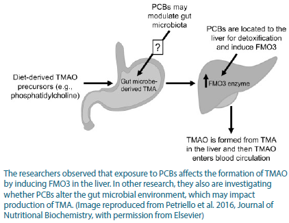 Graphic showing that TMAO enters the gut, PCBs may modulate gut microbiota, and it leads to an increase in FMO3.
