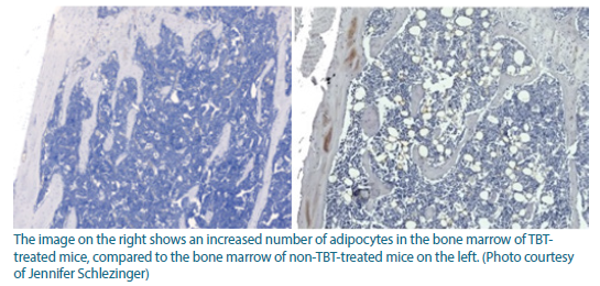 The image on the right shows an increased number of adipocytes in the bone marrow of TBT-treated mice, compared to the bone marrow of non-TBT-treated mice, shown on the left.