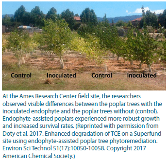 At the Ames Research Center field site, the researchers observed visible differences between the poplar trees with the inoculated endophyte and the poplar trees without (control). Endophyte-assisted poplars experienced more robust growth and increased survival rates. (Reprinted with permission from Doty et al. 2017. Enhanced degradation of TCE on a Superfund site using endophyte-assisted poplar tree phytoremediation. Environ Sci Technol 51(17):10050-10058. Copyright 2017 American Chemical Society.)