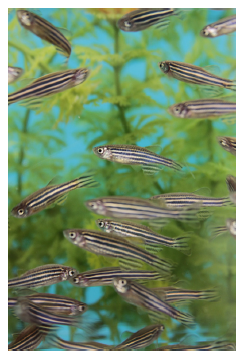 School of adult zebrafish. (Photo courtesy of Robert Tanguay)