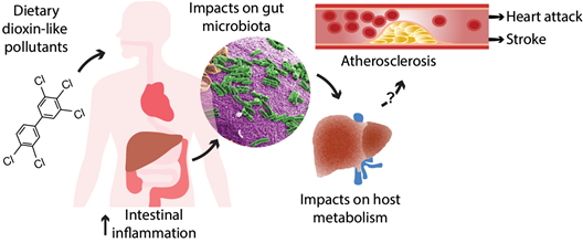 Diagram of PCB exposure and impacts on inflammation, gut microbiota, metabolism, and indicators of cardiometabolic disease.