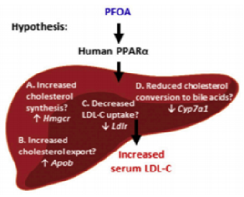 A hypothetical model of biomarker genes for the potential liver pathways controlling cholesterol homeostasis.