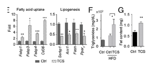 Graphs showing elevated triglyceride levels and fatty acid uptake in mice exposed to triclosan.